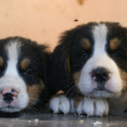Two young Bernese Mountain Dogs Puppies looking straight to the camera looking so adorable.PNG