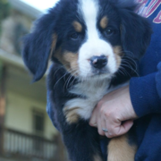 Very cute Bernese Mountain Puppy pix.PNG