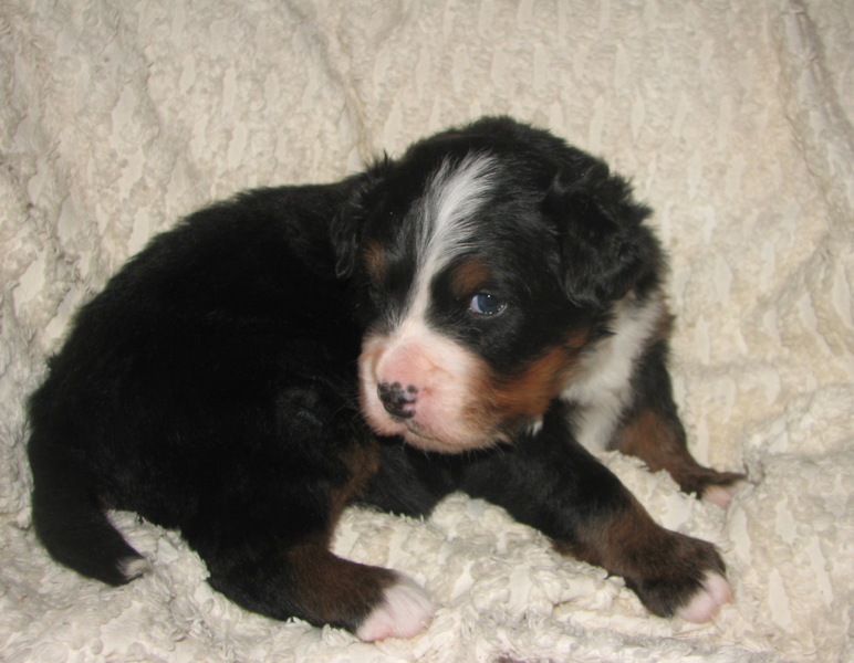 Young Bernese Mountain Pup images.PNG