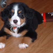 Young Bernese Mountain Pup on the light color wood floor with its dog toy.PNG