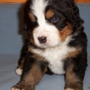 Young Bernese Mountain Puppy in three colors.PNG