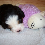 Young Bernese Mountain Puppy sleeping next to its purple lamp toy.PNG