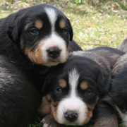 Bernese Mountain breeders.PNG
