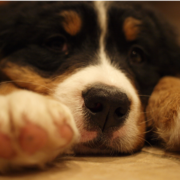 Bernese mountain dog photos.PNG