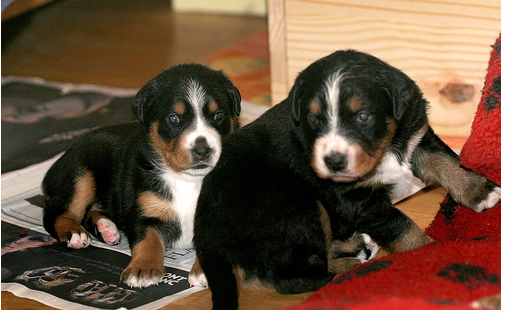 Bernese mountain dog puppies image.PNG