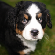 Bernese Mountain Dog Puppy looking straight at the camera.PNG