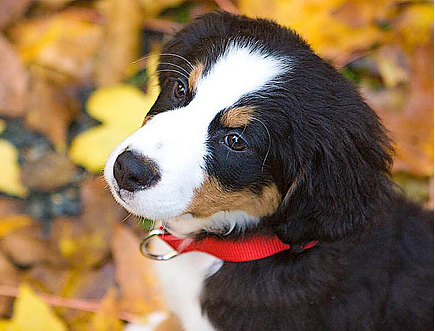 Bernese Mountain Pup image.PNG