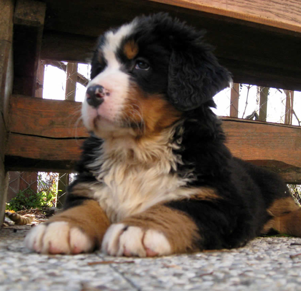 Bernese Mountain Pup in black tan and white colors.PNG