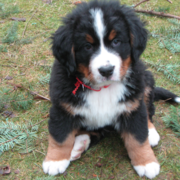 Bernese Mountain Pup pictures.PNG