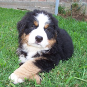 Bernese Mountain Puppy crossing legs posting to the camera.PNG