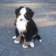 Bernese Mountain Puppy image.PNG