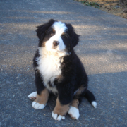 Bernese Mountain Puppy images.PNG
