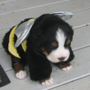 Bernese Mountain Puppy in cute bee custome pictures.PNG