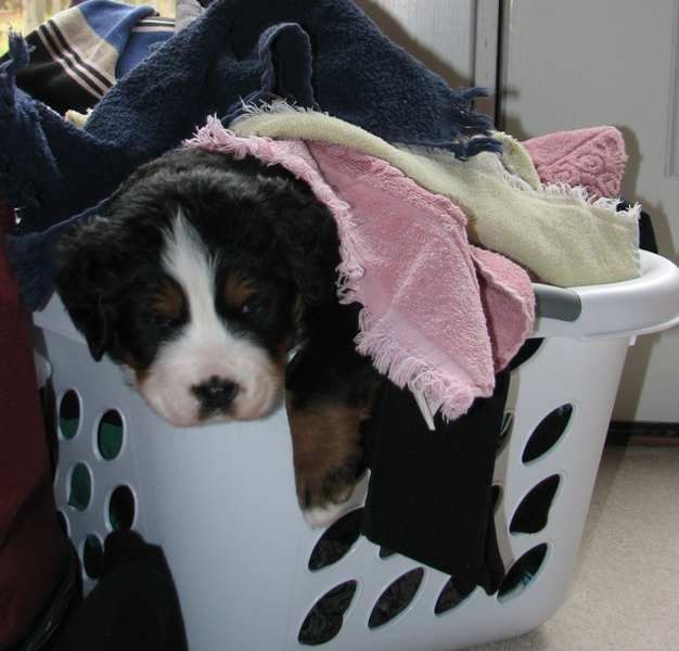 Bernese Mountain Puppy in laundry basket with full of clothes.PNG