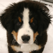Bernese Mountain Puppy in the snow pix.PNG