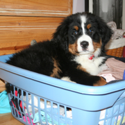 Bernese Mountain Puppy laying on blue basket with full of clothes.PNG