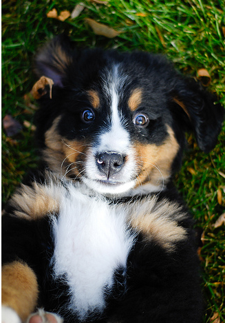 Bernese Mountain Puppy on its back on the grass with its funny eye expression looking very straight to the camera.PNG