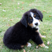 Bernese Mountain Puppy on the grass looking back to post to the camera.PNG