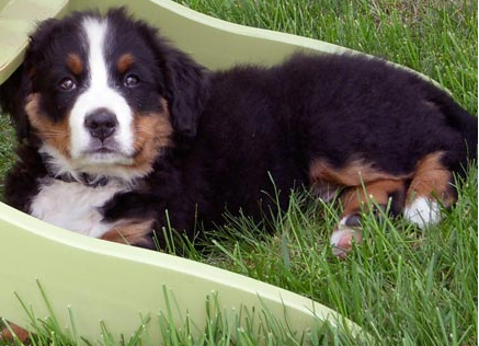 Bernese Mountain Puppy on the grass picture.PNG