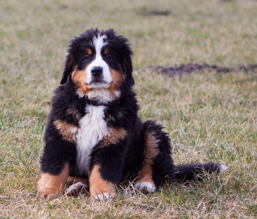 Bernese Mountain Puppy on the grass posting to the camera.PNG
