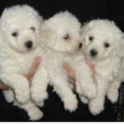 Akc bichon frise puppies picture.PNG