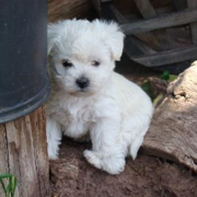 Akc bichon frise puppy pictures.PNG