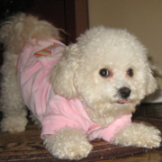 Bichon Frise Clothes in light pink.PNG