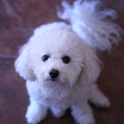 Bichon frise dog picture.PNG