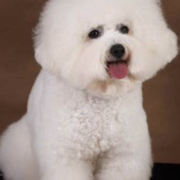 Bichon Frise French dog puppy picture.PNG