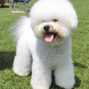 Bichon Frise French puppy pictures.PNG