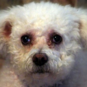 bichon frise puppies breeders.PNG