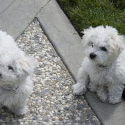 Bichon Frise Puppies pic.PNG