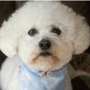 Bichon Frise Puppy Dog Face picture.PNG