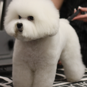 Bichon Frise Puppy groomed beautifully.PNG