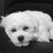 Bichon Frise Puppy in black and white picture.PNG