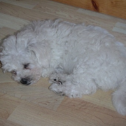 Bichon Frise puppy in deep sleep picture.PNG