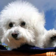 Bichon Frise puppy in white with pubby hair.PNG
