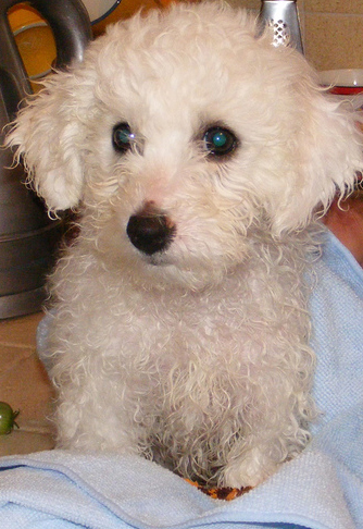 Bichon Frise Puppy just finished her shower.PNG