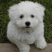 Bichon Frise puppy looking straight up to the camera.PNG