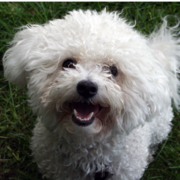 Bichon Frise Puppy looking up to the camera with its mouth open.PNG