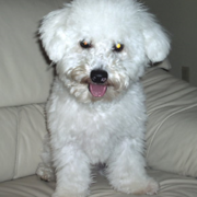 Bichon Frise puppy on sofa.PNG