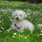 Bichon Frise Puppy on the bright green grass with full of small white flowers.PNG