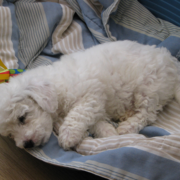 Bichon Frise Puppy sleep in its big dog bed.PNG