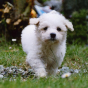 Bichon Frise Puppy walking on the garden.PNG