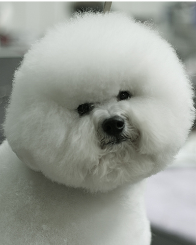 Bichon Frise Puppy With Cool Hairstyleg 1 Comment