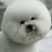 Bichon Frise Puppy with cool hairstyle.PNG