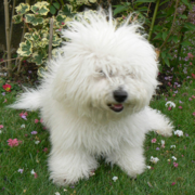 Bichon Frise Puppy with long messy hair.PNG