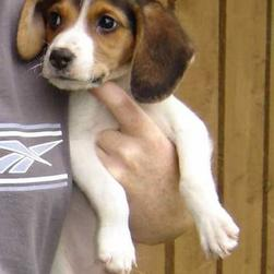 beagle pup_brown and white.JPG