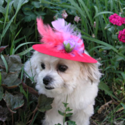 bichon frise shitzu pup with bright pink hat.PNG