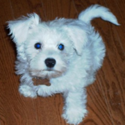 Bichon Mini Schnauzer hybrid dog puppy phoot.PNG